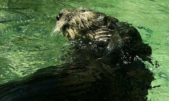 ... otter pictures. However, this time we feature sea otters which Otter Sounds